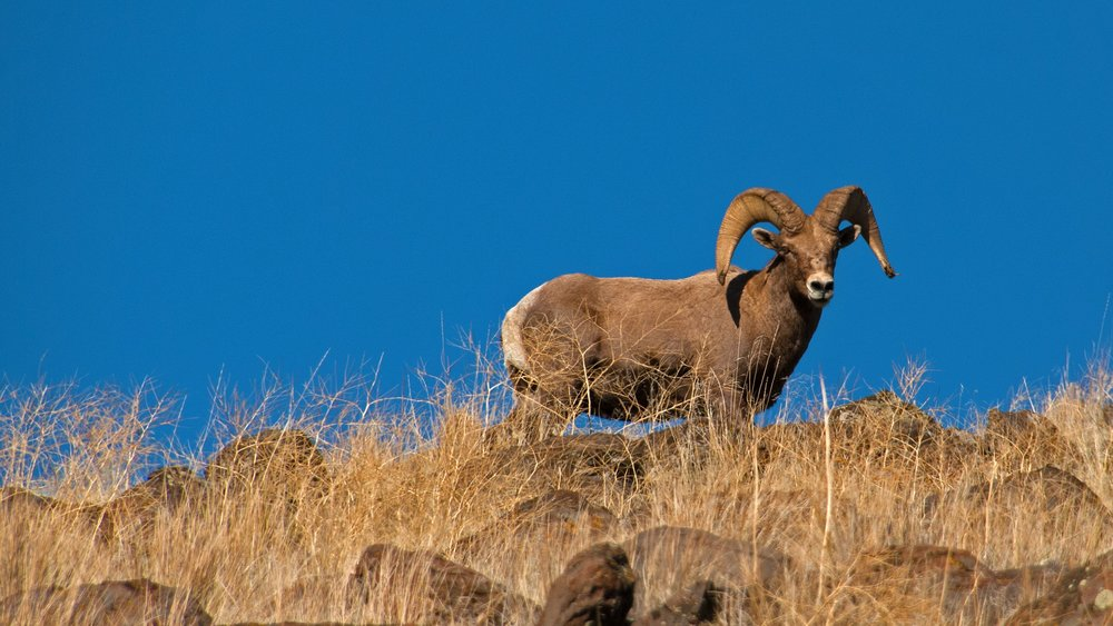 Yakima River Bighorn Sheep