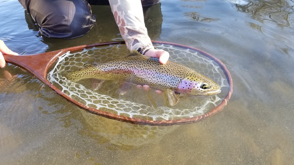 Yakima River Rainbow Trout Skwala Stonefly