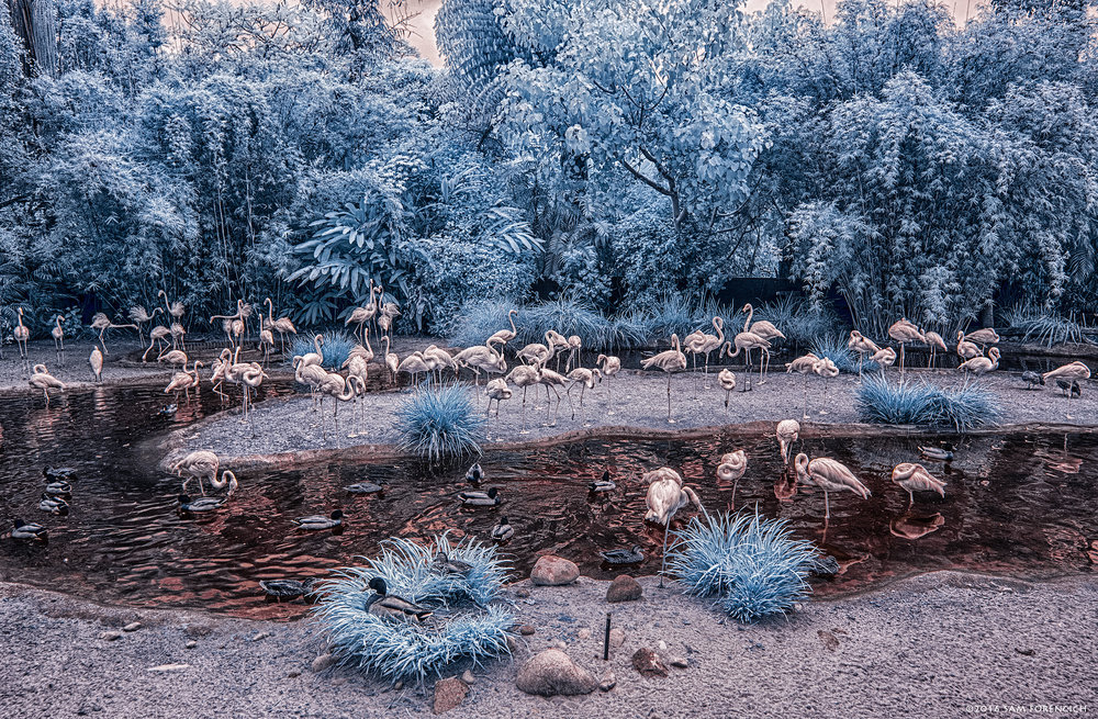 Caribbean Flamingos hang out in their custom made lagoon at the San Diego Zoo in California. IR converted Canon 5D Mark II, HDR post processing.  © 2015 Sam Forencich