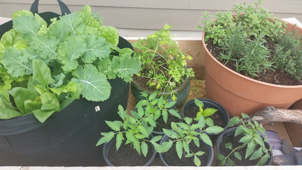 """Our """"garden"""" before we transplanted everything. From right we have: Spinach & Kale, parsley, tomato plants, one pepper, and our herbs (rosemary, thyme, & oregano) which we simply moved over by our kitchen door."""