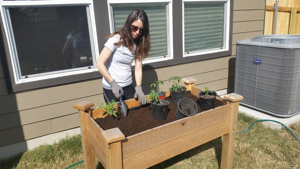 Transplanting the tomatoes