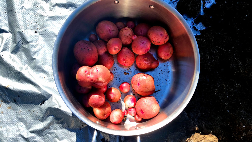 Our First Potato Harvest + A Few Lessons Learned