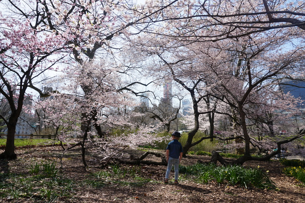 Central Park Cherry Blossoms.JPG