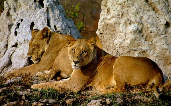 African Lionesses.jpg