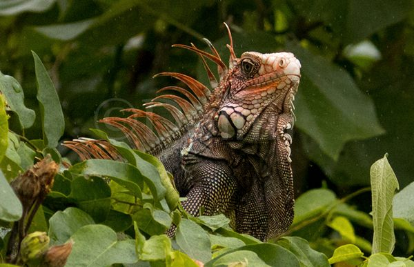 Black Spiny-tailed Iguana.jpg