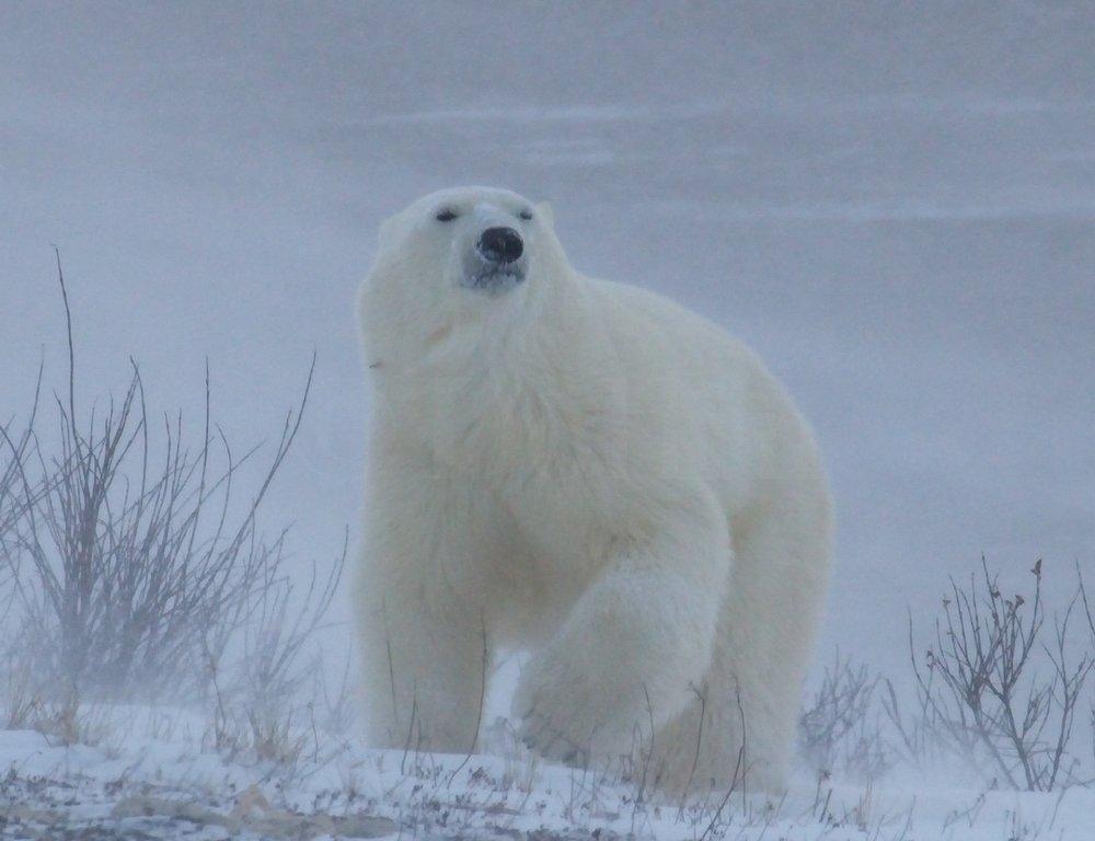 Polar Bear Cub1309.jpg