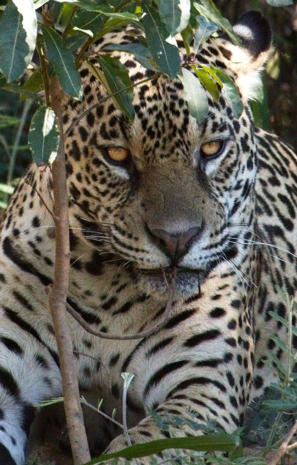 JaguarBrazil8543_1.jpg