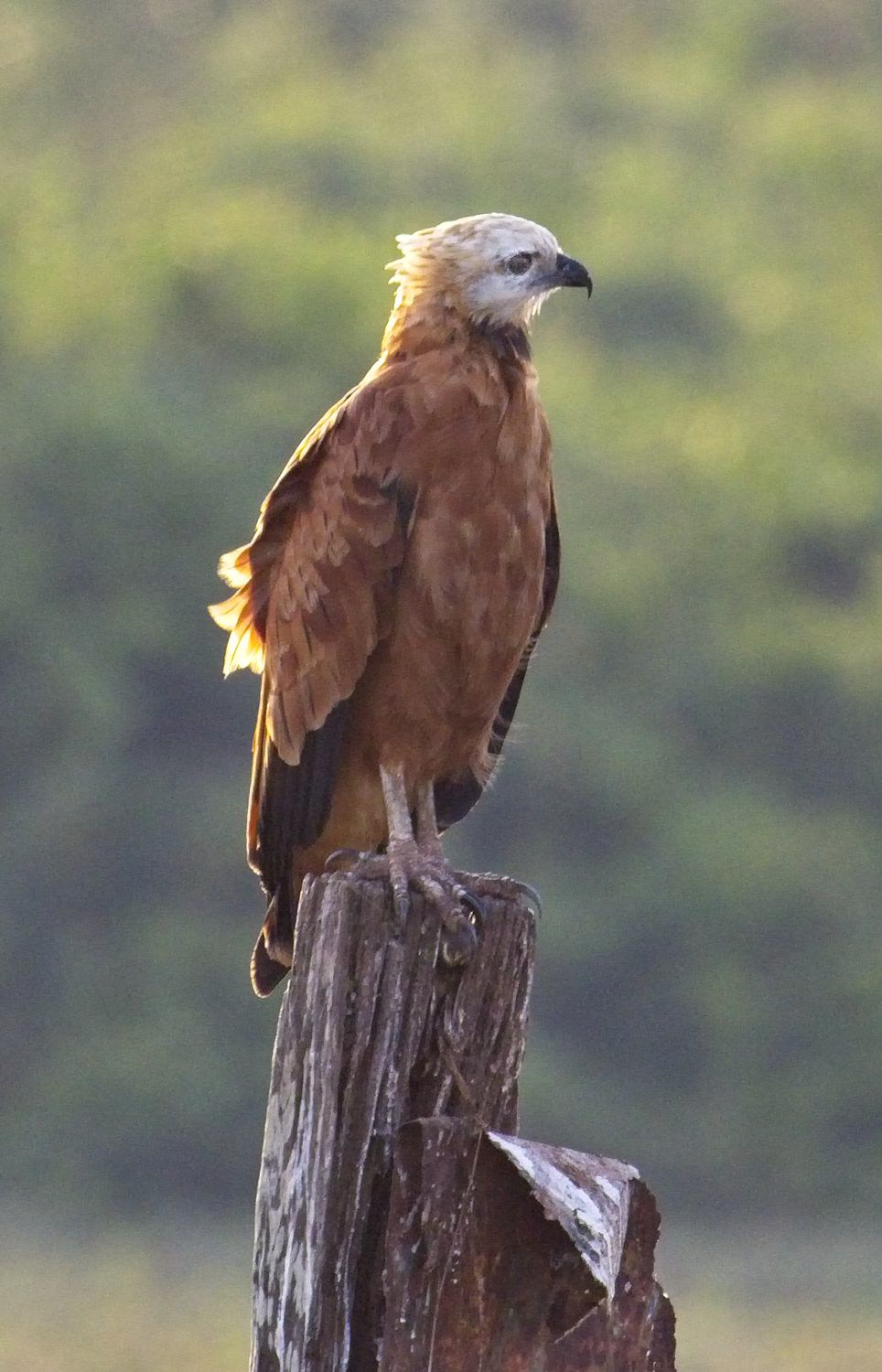 Black-collared Hawk3931