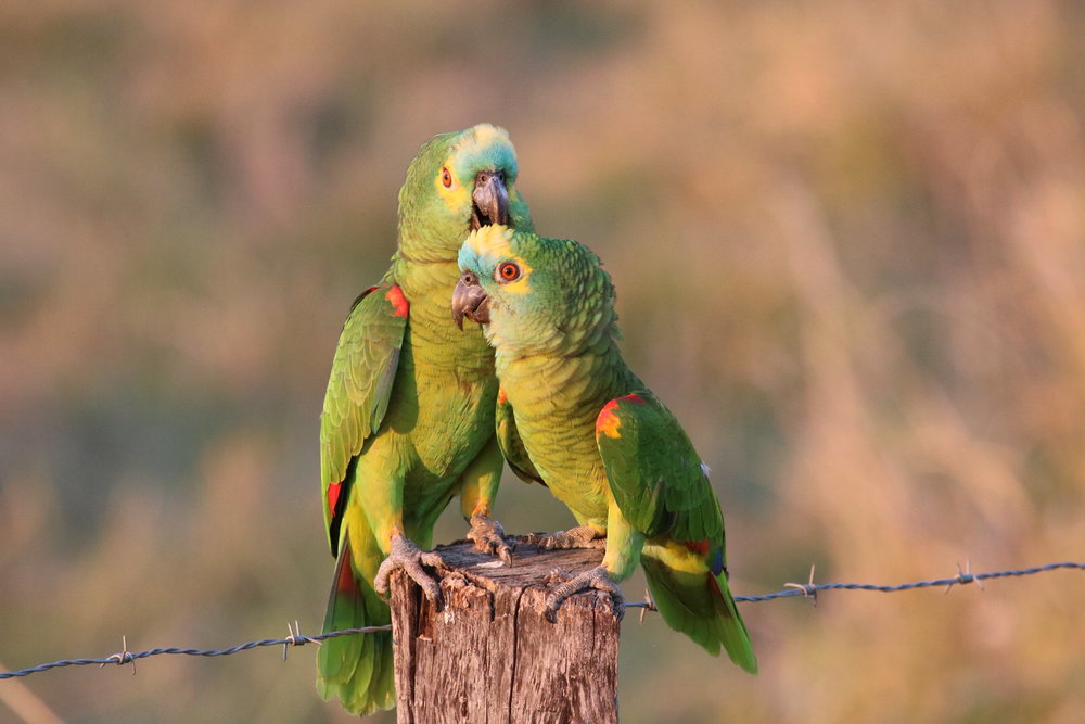 Blue Fronted Parrot1580