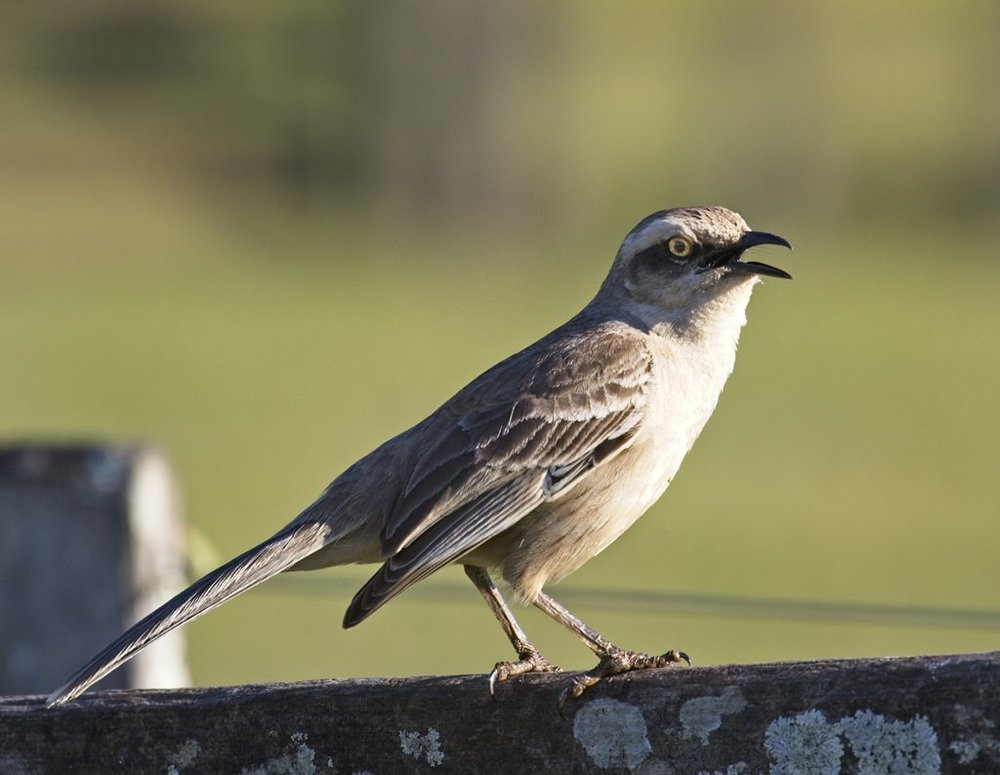 Chalk-browed Mockingbird0387