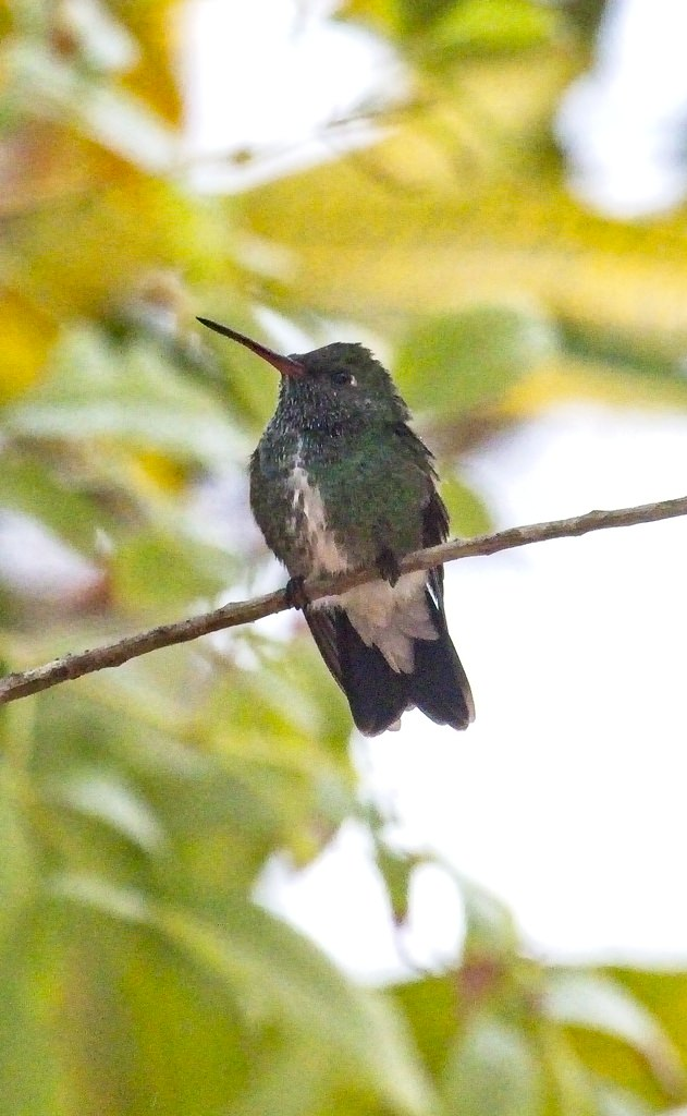 Glittering Throated Emerald4215