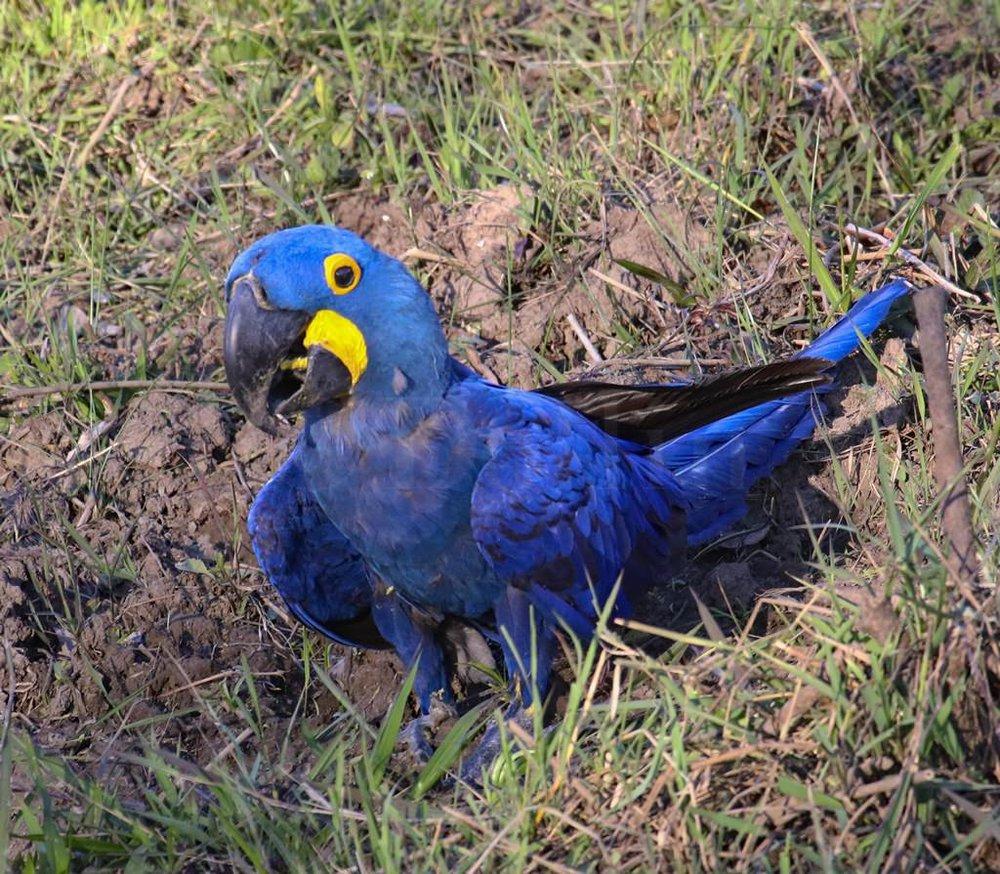 Hyacinth Macaw0722