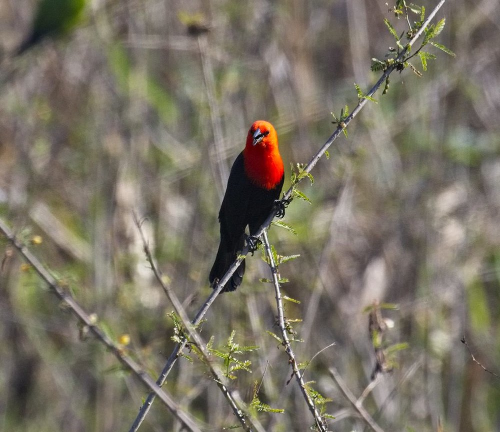 Scarlet-Headed Blackbird1727