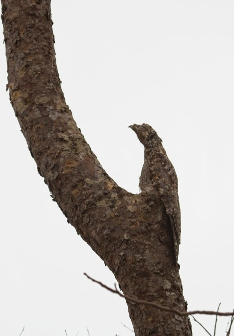 Common Potoo 5316