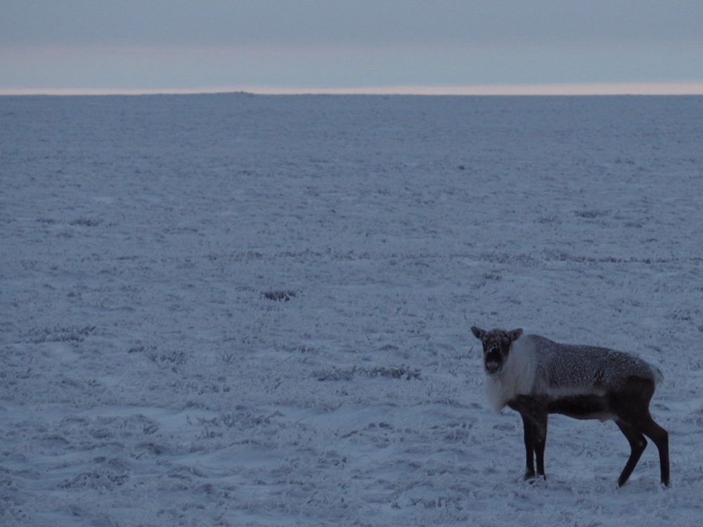 Kuparuk Caribou