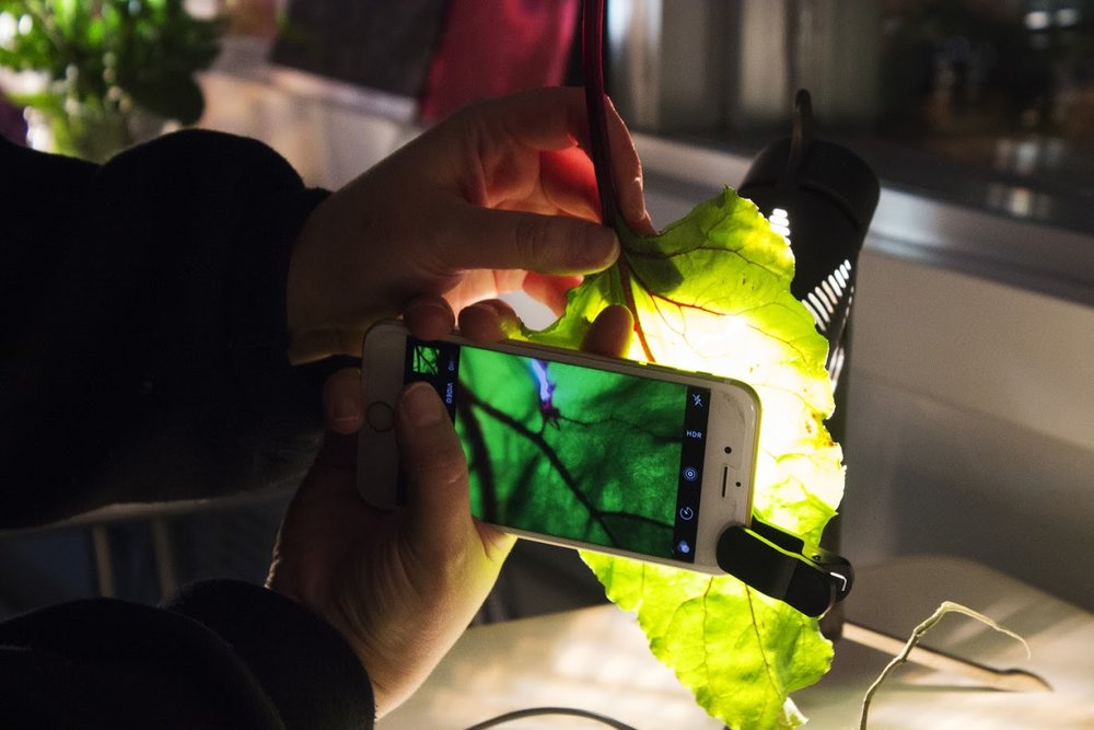 Back-lighting a lettuce leaf and trying out a phone macro clip-on lens. Photo: Sarah Manriquez