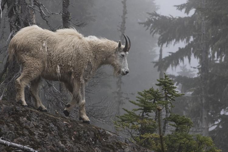 Miles Leguineche- Olympic Goat.jpg