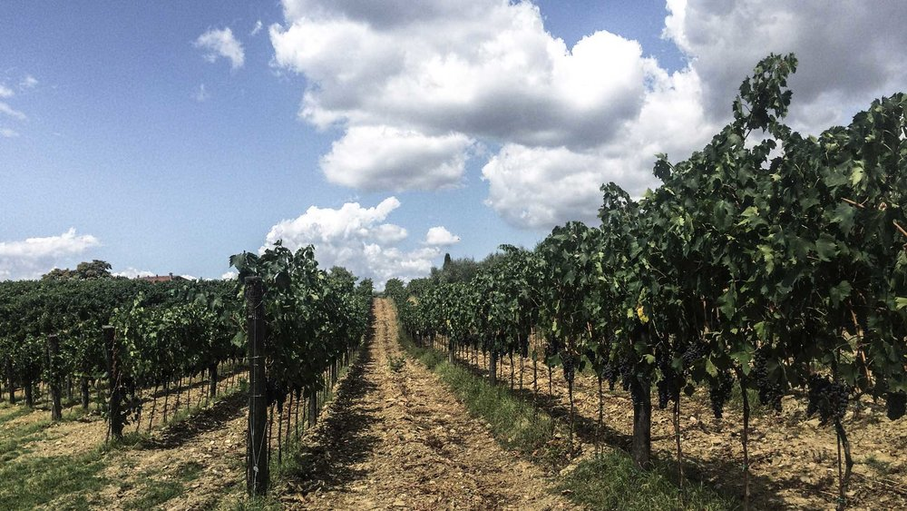 Vineyards in the late Summer