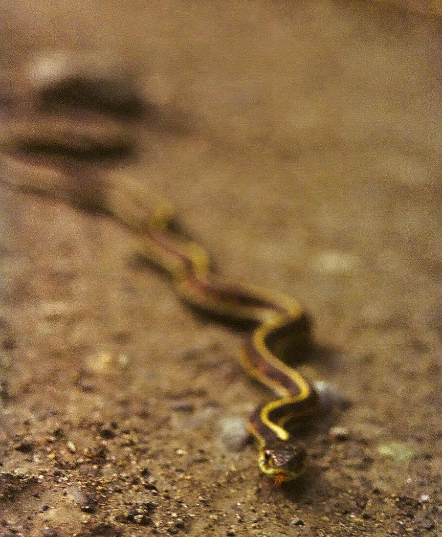 Another Puget Sound Garter Snake along Baker Lake's shores