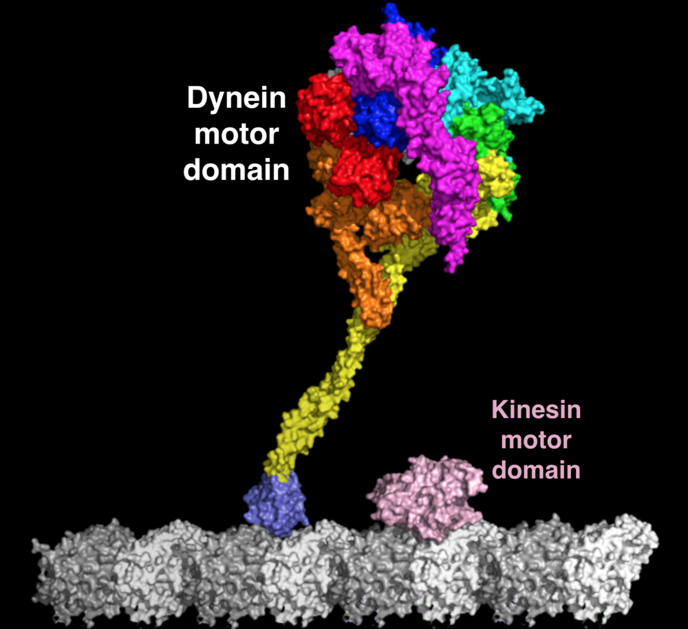 The dynein motor domain is a large and complicated beast