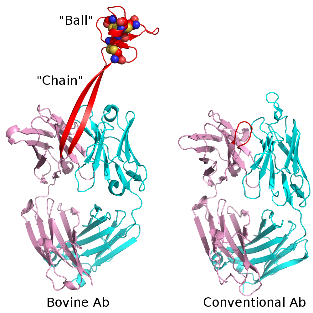 Bovine_mAb_vs_Conventional.png