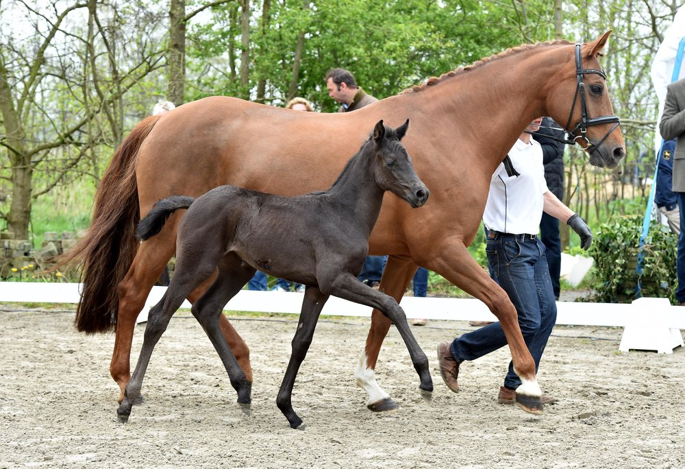 2014 Filly (Damsey FRH, Rotspon)