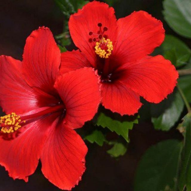 Real Hibiscus flowers are in our Cleansing Grains due to their natural acids which help to purify your skin by breaking down dead skin and increasing cell turnover. Unlike harsh synthetic forms of these acids, which can strip your skin of its natural oils, the organic acids from Hibiscus flowers bring your skin back in balance for a naturally gorgeous, glowing complexion. #hibiscusflowers #exfoliation #peakskincare #glowingcomplexion #vegan #cruetlyfree