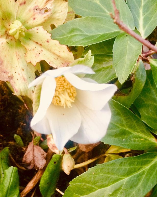 Stepping out of the development kitchen I spotted this solitary Christmas Rose flowering in January, as they do. Bit early for bees to enjoy but a welcome sight on an overcast dull day. Break-time over, so back inside to the  beautiful scents of orange blossom, lavender and bergamot #inspiredbythepeakdistrict #peak_skincare #veganuary #hellebores #whiteflowers #neroli #lavender #bergamot