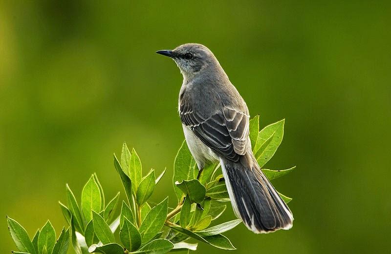 A mockingbird, or  sinsonte in Spanish.