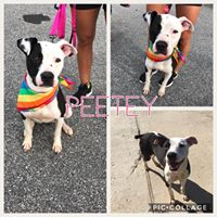 Peetey  2 year old, Female   Pit bull terrier mix.