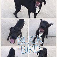 Buck Bird, Male  lab/hound mix