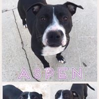 Aspen  2 year old, female  bull terrier mix