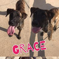 Grace  1 year old, female  Plott hound mix