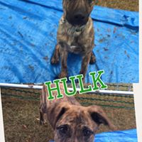 Hulk  7 months old, male  shepherd mix