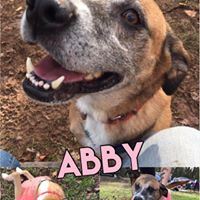 Abby  6 year old, female  shepherd mix