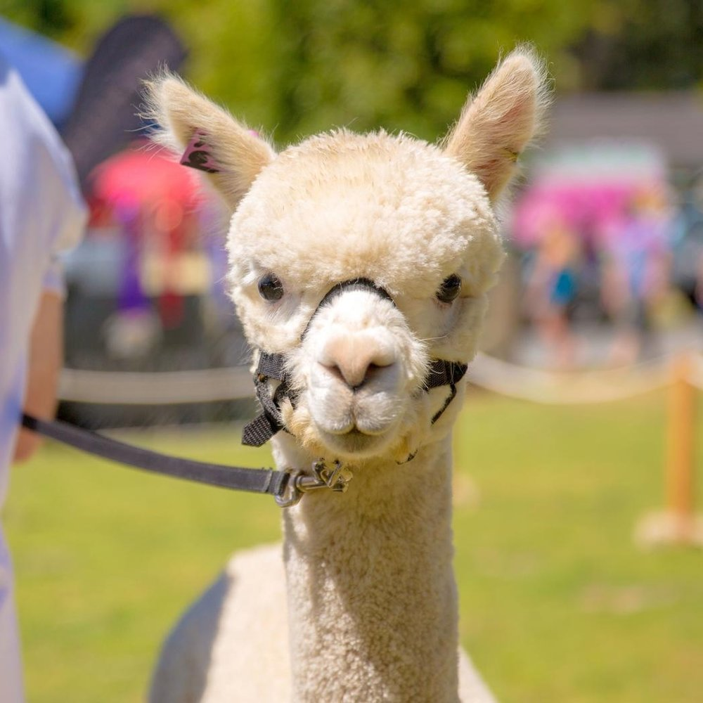 prize-winning-alpacas-and-their-prideful-owners-in-photos-body-image-1490316216.jpg