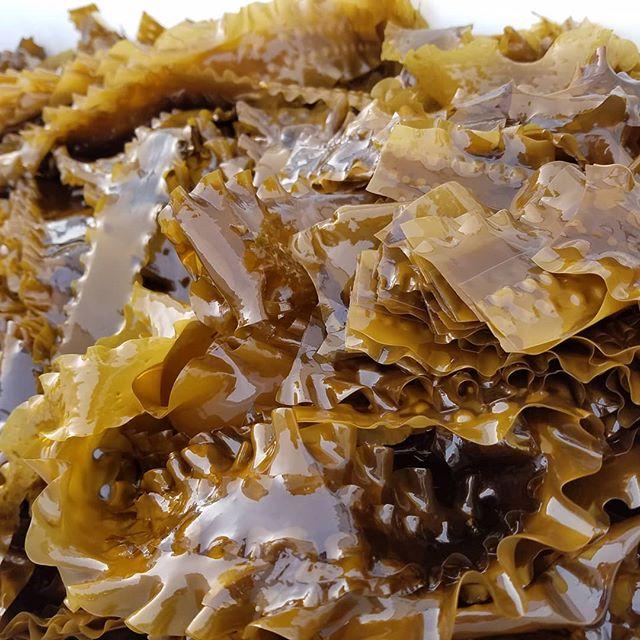 The kelp has two more weeks to grow before harvesting starts #kelp #farming #Harvest #Seagreensfarms