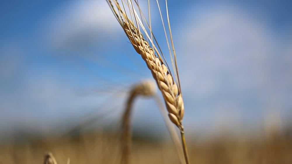 Barley seed head.JPG