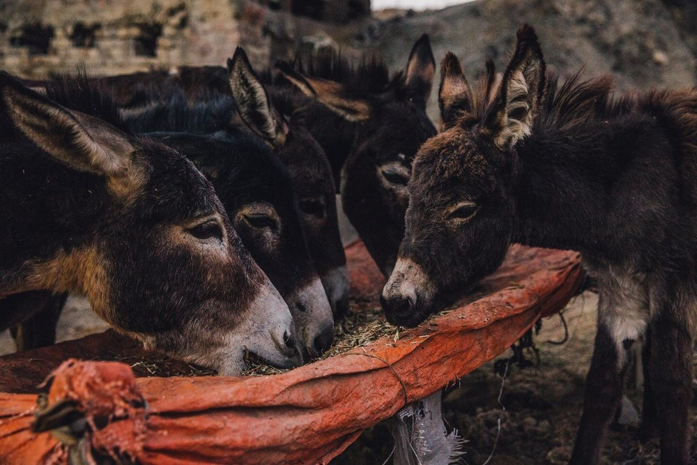Donkeys are social creatures who enjoy downtime. Kinda like humans. © Freya Dowson – Brooke