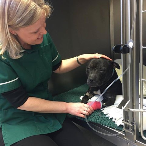 Sprout, from Moorview Dog Rescue, is just waking up from her anaesthetic this morning with Gill    😴    😴   Don't forget we have regular operating days at all our branch practices   #bishoptonvets     #vets  #vetnurse     #pets
