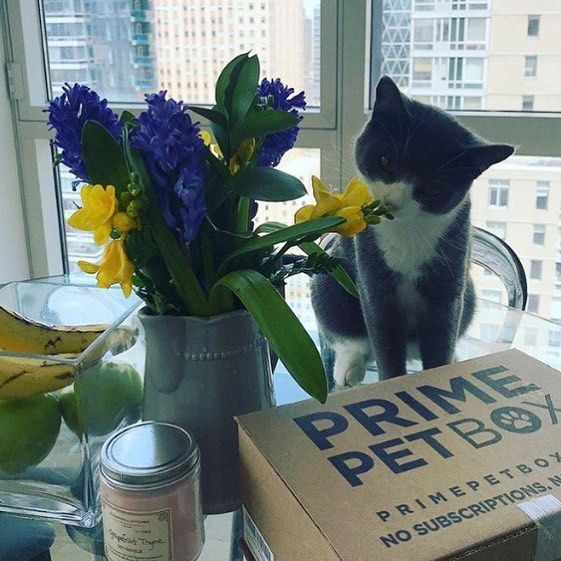 @jumping_for_jovie is a NYC kitty with a taste for decor & Prime Pet Box!