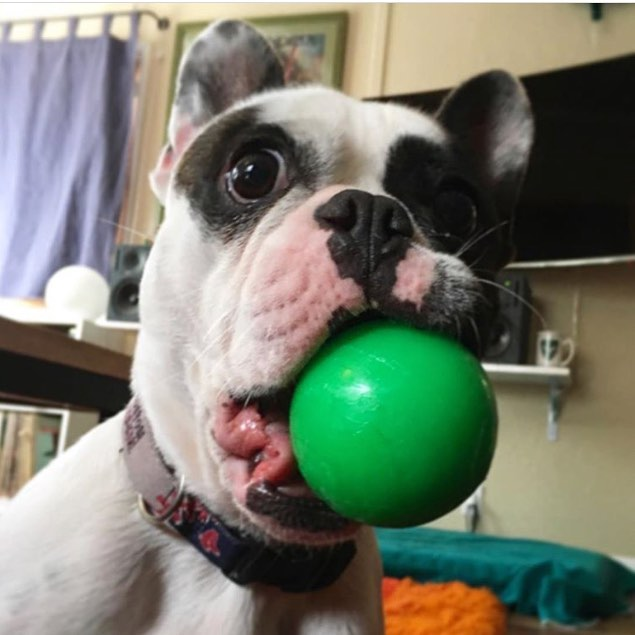 What's that you say? Prime Pet Box has a box for tough chewers like me?! New Ruff & Tuff Box featuring durable toys that float & bounce from @ruffdawgtoys Tap to shop!
