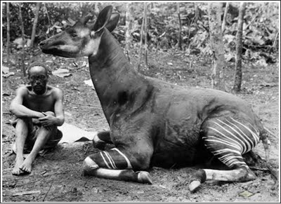 Okapi specimen secured in 1910 by the American Museum of Natural History Lang-Chapin Congo Expedition. (A very healthy okapi compared to those seen on extremely rare occasions today.)