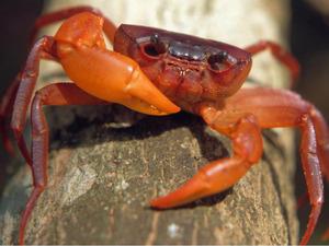 Liberian Tree-Hole Crab - (Globonautes macropus)