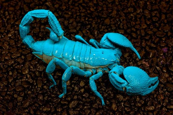 Above: the Emperor Scorpion  (Pandinus imperator)  fluoresces bright blue in ultraviolet light.