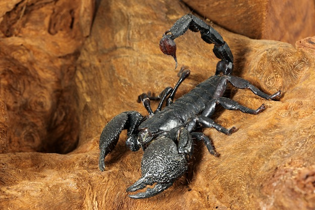 Above: the Emperor Scorpion  (Pandinus imperator)  of West Africa.