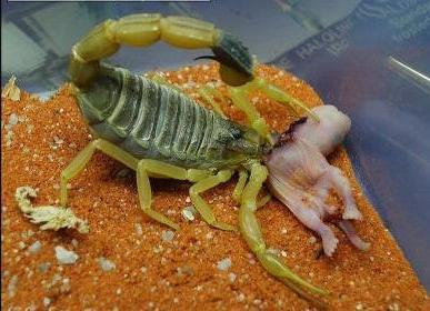 Above: the Deathstalker scorpion ( Leiurus quinquestriatus)