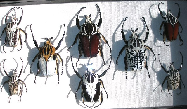 Above: the various colorations of  G  oliathus  species, subspecies and forms.