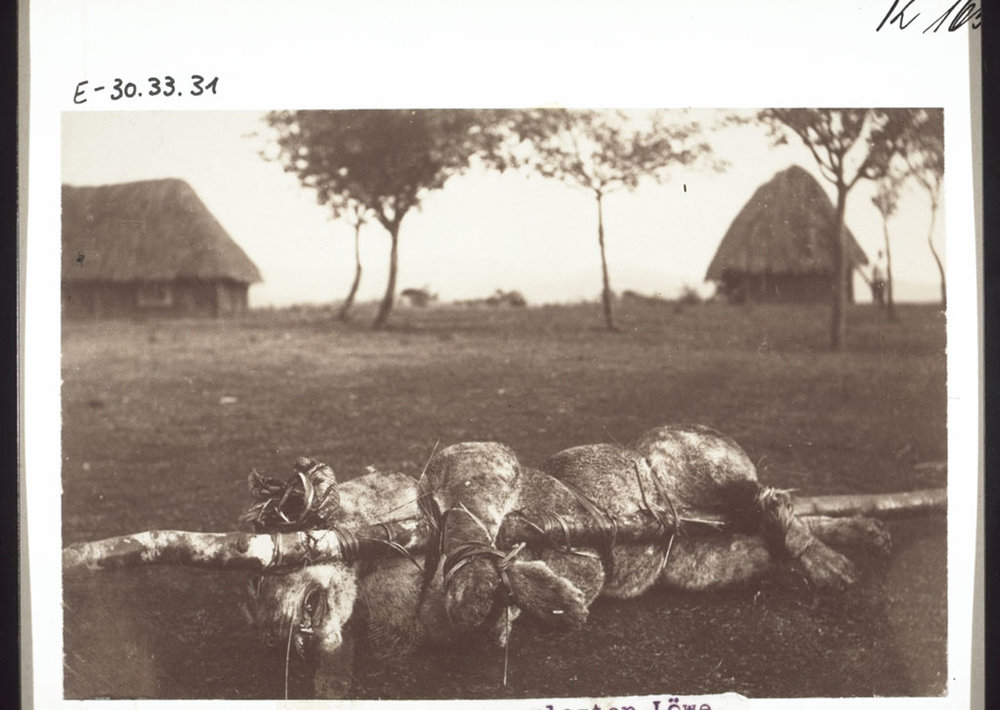 A lion killed in Bamum, Cameroon, 1907.