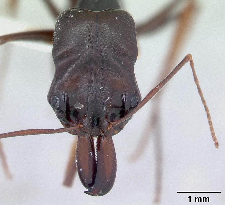 Odontomachus_assiniensis_casent0178262_head_1.jpg